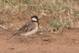 Fischer's Sparrow Lark (Eremopterix leucopareia)