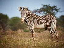 Grévy's zebra (Equus grevyi). Photograph by Per Aronsson.