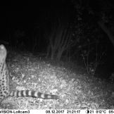 Large-spotted genet (Genetta maculate)