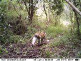 IMAG0132 - Adult male vervet monkey
