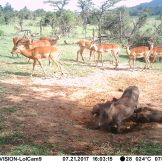Common Warthog (Phacochoerus africanus) and Impala (Aepyceros melampus)