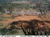 IMAG0561 - Zebra