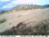 Adult male mountain reedbuck on Lolldaiga Hills Ranch. Photograph obtained by the Lolldaiga Hills Research Programme in partnership with The Zoological Society of London.