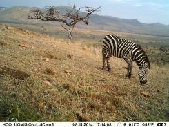 IMAG1616 - Zebra