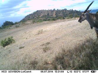 IMAG1675 - Adult female eland