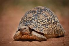 Leopard tortoise (Stigmochelys pardalis). Photograph by Per Aronsson.