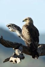 Tawny eagle (Aquila rapax) by Matthew Simpson