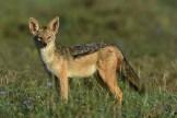 Black-backed jackal (Canis mesomelas) by Matthew Simpson