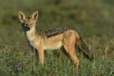 Black-backed jackal (Canis mesomelas) by Matthew Simpson