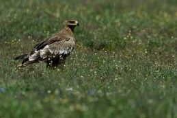 Steppe eagle (Aquilla nipalensis) by Matthew Simpson