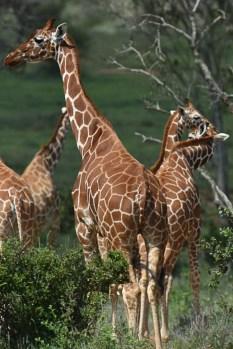 Reticulated giraffe (Giraffa reticulata) by Matthew Simpson