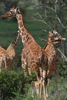 Reticulated giraffe (Giraffa reticulata) by Matthew Simpson