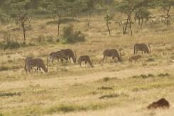 Beisa Oryx (Oryx beisa)