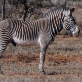 Adult male Grévy's zebras Equus grevyi on Lolldaiga Hills Ranch on 6 March 2017. Photograph by Paul Benson.