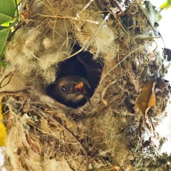Nestling scarlet-chested Sunbird (Nectarinia senegalensis)