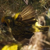 Speke's weaver (Ploceus spekei)