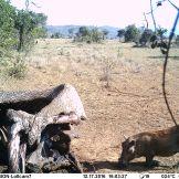 Common warthog (Phacochoerus africanus) at elephant carcass