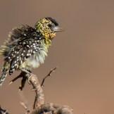 Darnaud's barbet (Trachyphonus darnaudii)