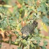 Brown parrot (Poicephalus meyeri)