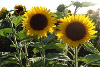 Sunny III