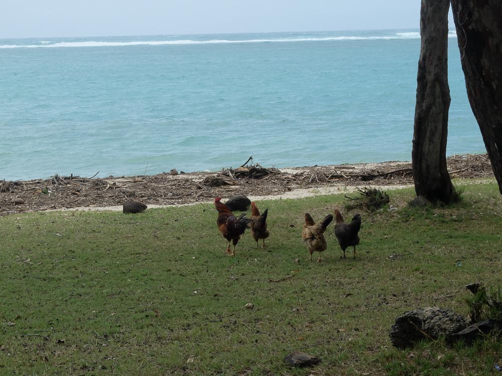 Rodrigues - Des bons poulets en pleine nature, ce n'est pas de la batterie
