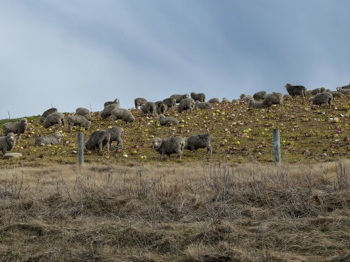 Les moutons Mérinos au milieu des choux