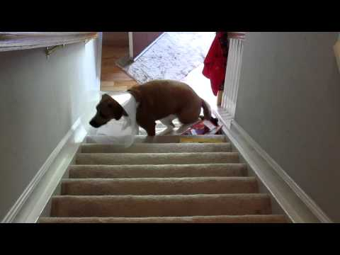 Poor Dog With A Cone Is Struggling With The Stairs