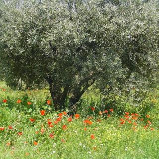 Dai nostri lettori, Marco B.: Posso dare in pasto la trinciatura delle olive?