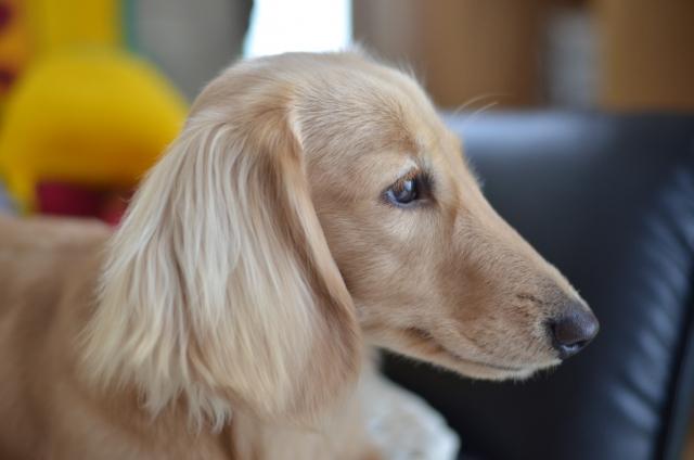 室内犬にジョイントマットがいい5つの理由