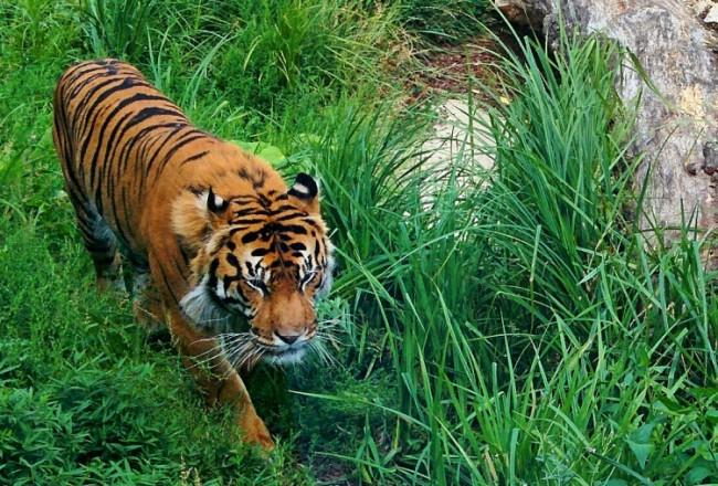 Tiger at London Zoo