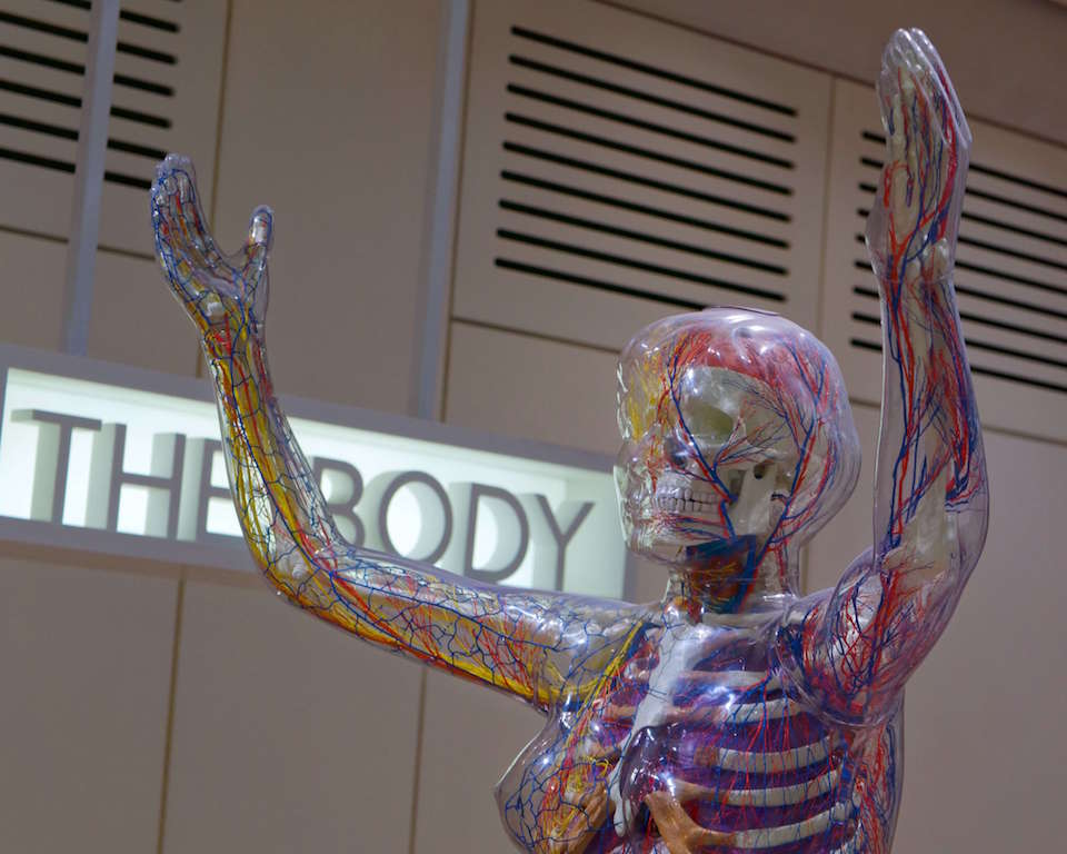 The Human Body display at the Welcome Collection London