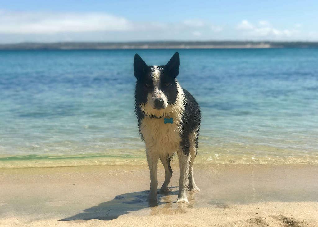 Dog on beach, dog friendly beaches in Cornwall