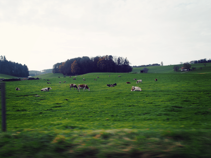 Switzerland_country_cows