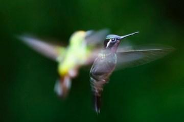 kolibrietuin Monteverde