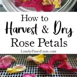Drying rose petals in the perfect way to enjoy their beautiful scent all year long. You can add them to sugar scrubs, teas, and herbal infusions. In this post, I'll walk you through harvesting and drying rose petals, using a dehydrator.