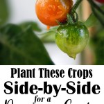 Did you know that growing certain vegetables next to eachother improves the health of your plants? While you're planning this year's garden, consider these basic crop pairings - also known as companion planting.