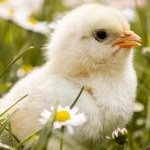 Are you thinking about raising a small flock of chickens? Owning chickens is wonderful, but there are some things you need to be prepared for. In this article we discuss our experiences as first-time chicken parents. From one beginner to another, we'll let you know if it is, - in fact - easy to care for chickens.