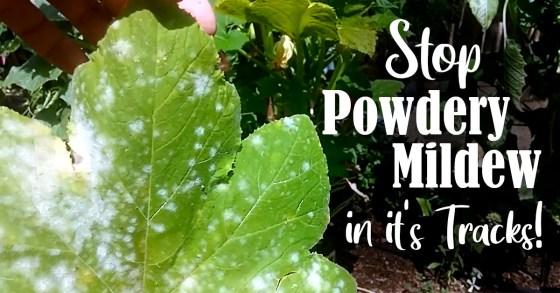 How to Identify & Treat Powdery Mildew
