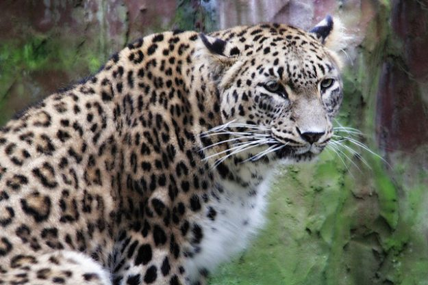 wheelchair bed caps for chair legs persian leopards released into the wild in russian caucasus