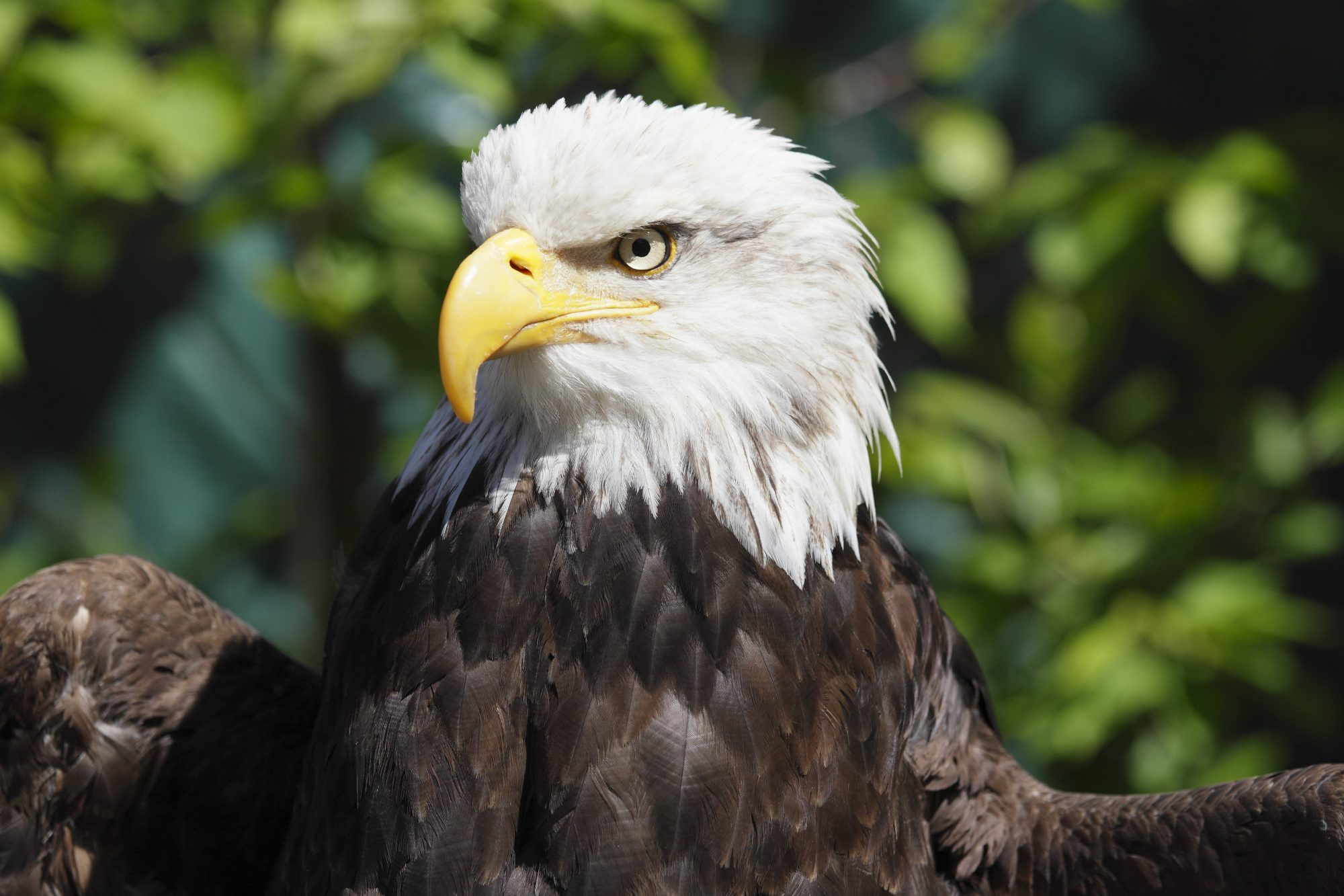 Bald Eagles Are Thriving In Florida