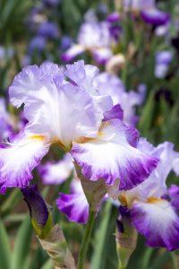 Giardino degli Iris, Firenze - Foto: Caterina Chimenti / Lonely Traveller