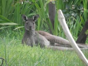 the new kangaroo in our backyard - Zebedee