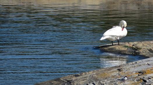 swans at Lilla Kuggskäret island