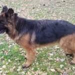 Puppies For Sale Calico Junction Long Coat German Shepherds