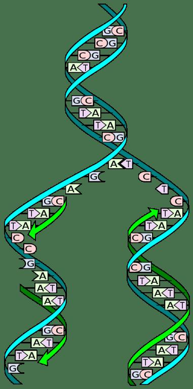 DNA replication genetic testing