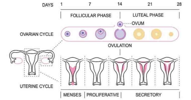 Female longevity and an illustration of menstrual cycle tracking (both ovarian and uterine cycles)