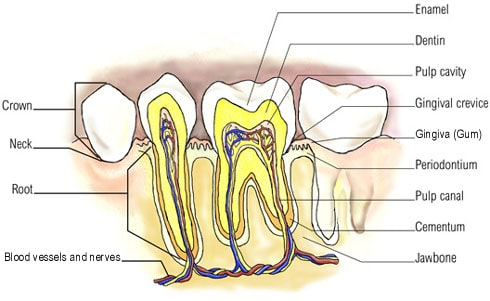 aging tooth problems and oral anatomy figure
