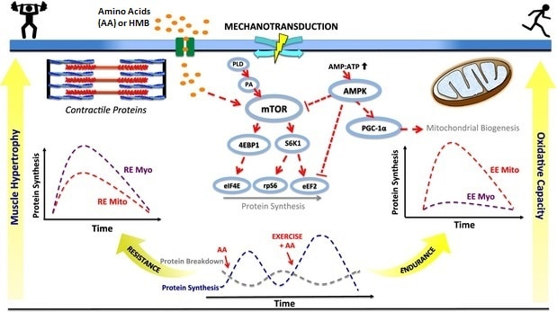 mTOR protein aging muscle growth