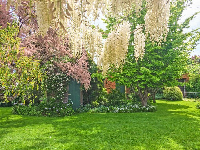 Tamarisk and white Wisteria in flower