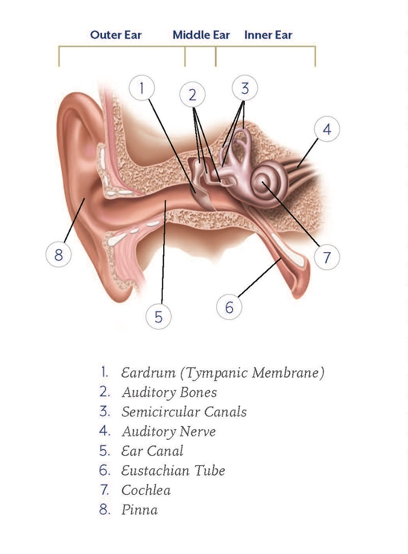 small resolution of ear diagram
